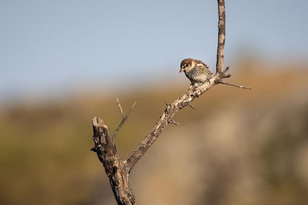 Foto de foco seletivo de um pardal espanhol em um galho