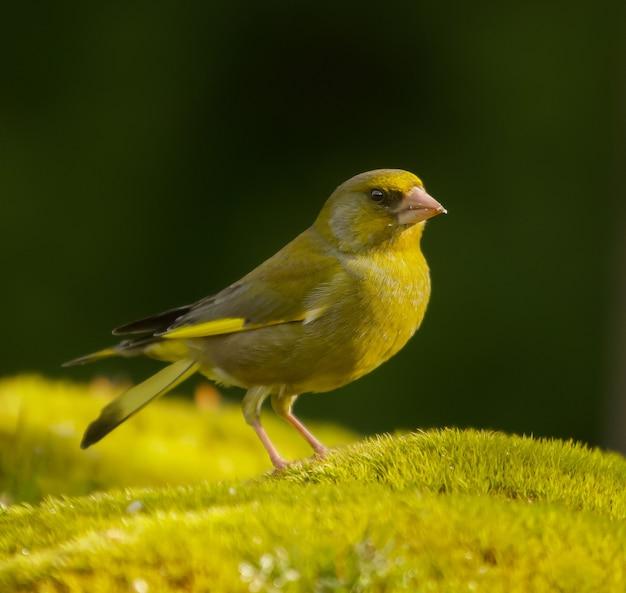 Foto de foco seletivo de um passarinho-verde europeu em uma superfície verde durante o dia