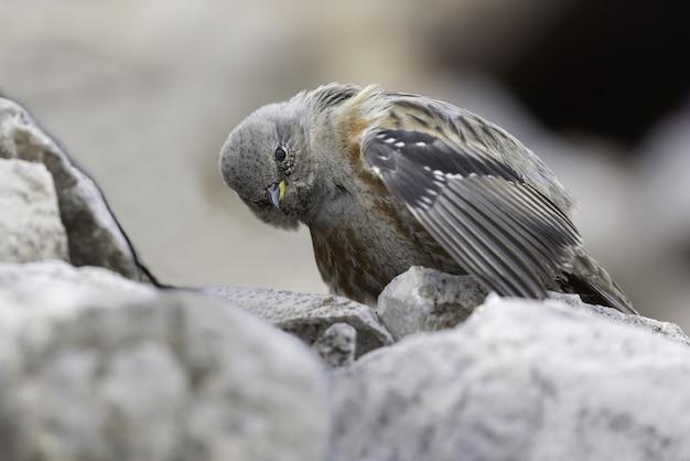 Foto de foco seletivo de um pássaro acentor alpino nas rochas