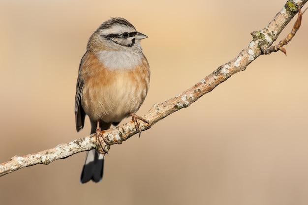 Foto de foco seletivo de um pássaro bunting empoleirado em um galho com um fundo desfocado