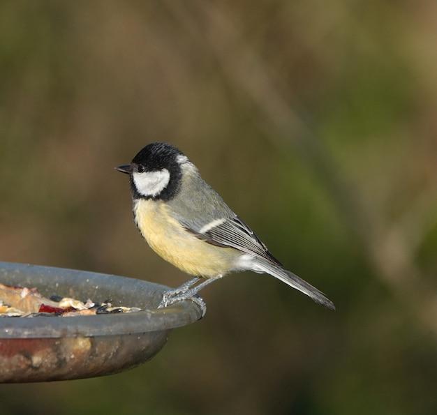 Foto de foco seletivo de um pássaro chapim empoleirado em uma fonte