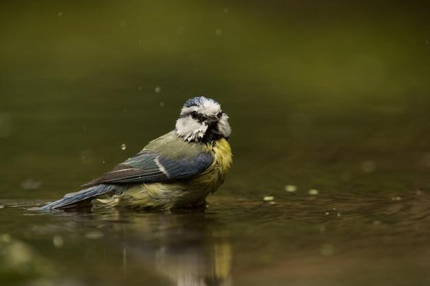Foto de foco seletivo de um pássaro chapim na água