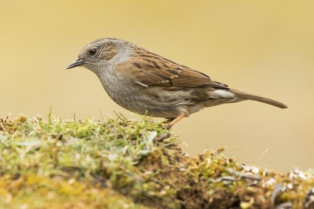 Foto de foco seletivo de um pássaro dunnock empoleirado na grama