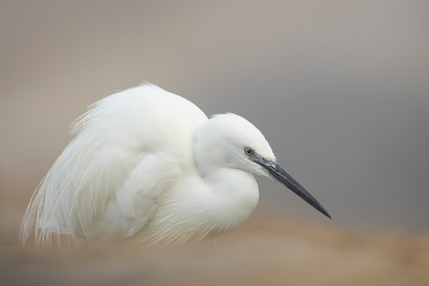 Foto de foco seletivo de um pássaro egretta na natureza