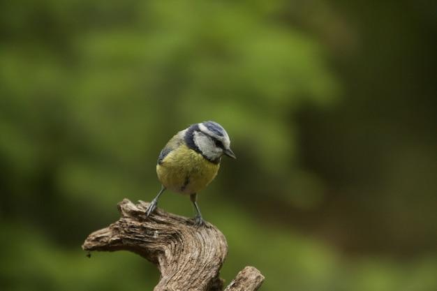 Foto de foco seletivo de um pássaro engraçado chapim azul