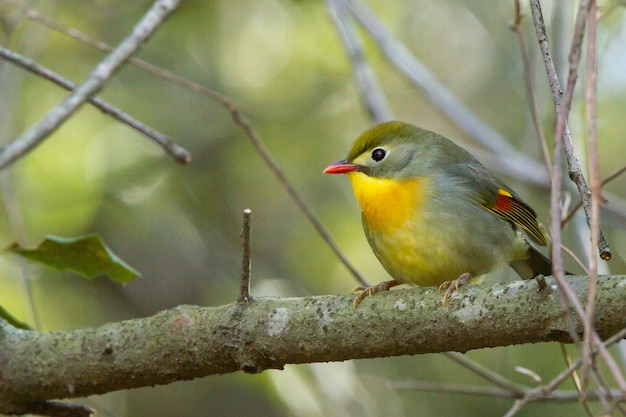 Foto de foco seletivo de um pássaro leiothrix de bico vermelho empoleirado em uma árvore