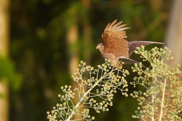Foto de foco seletivo de um pássaro marrom se preparando para voar de um galho de arbusto