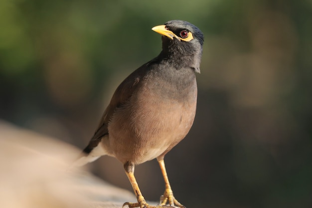Foto de foco seletivo de um pássaro myna empoleirado ao ar livre