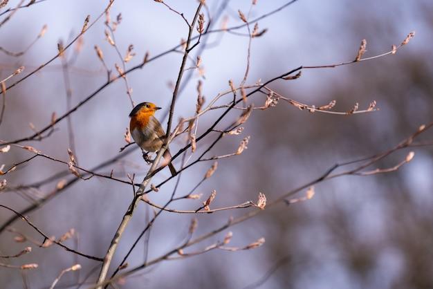 Foto de foco seletivo de um pássaro robin europeu no galho de uma árvore