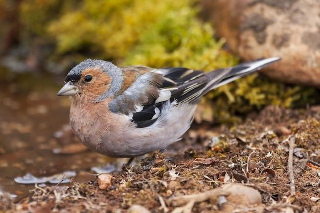 Foto de foco seletivo de um pássaro tentilhão parado no solo