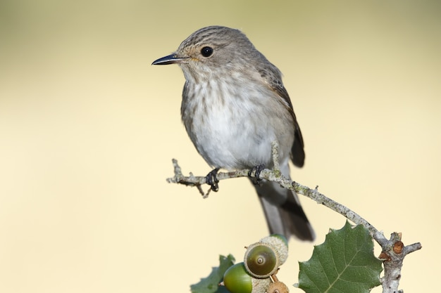 Foto de foco seletivo de um pássaro toutinegra melodious empoleirado em um galho de carvalho