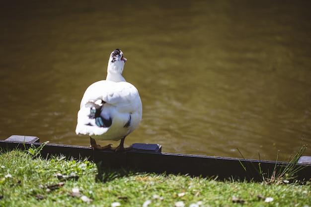 Foto de foco seletivo de um pato branco parado perto de um lago e um campo coberto de grama em um dia ensolarado