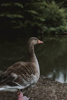 Foto de foco seletivo de um pato perto do lago