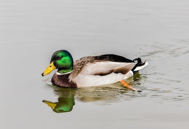 Foto de foco seletivo de um pato selvagem nadando em um lago