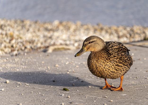 Foto de foco seletivo de um pato selvagem