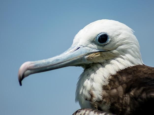 Foto de foco seletivo de um pelicano nas ilhas galápagos, na ilha de santa cruz no equador