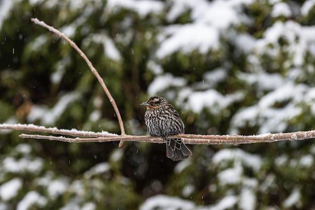 Foto de foco seletivo de um pequeno pássaro em um galho fino capturada em um dia de neve