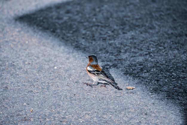 Foto de foco seletivo de um pequeno pássaro passeriforme chamado tentilhão empoleirado no chão