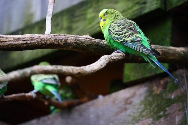 Foto de foco seletivo de um periquito verde sentado em um galho