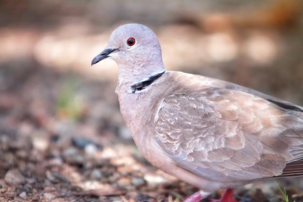 Foto de foco seletivo de um pombo branco com olhos vermelhos parado em um terreno coberto de cascalho