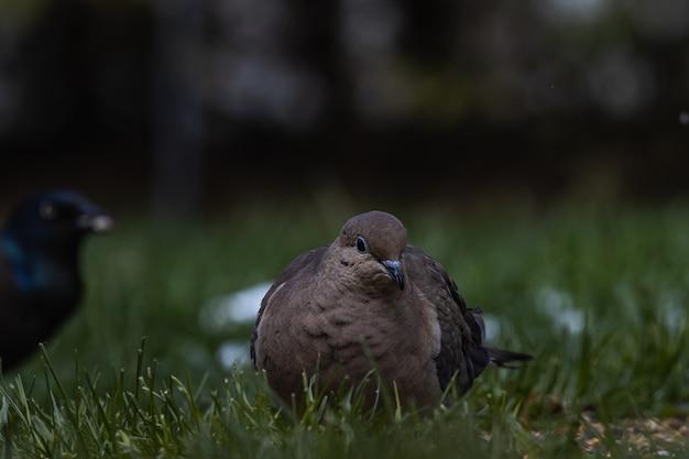 Foto de foco seletivo de um pombo e um corvo no campo coberto de grama