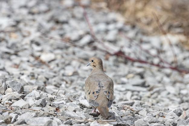 Foto de foco seletivo de um pombo parado nas rochas