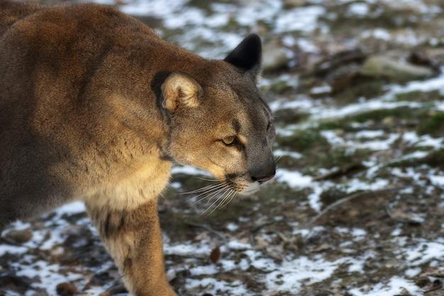 Foto de foco seletivo de um puma caminhando