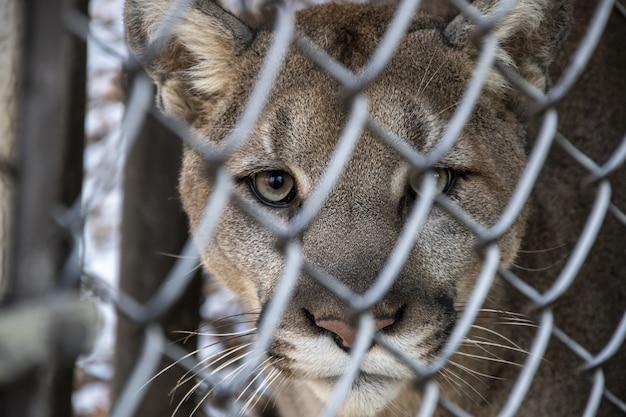 Foto de foco seletivo de um puma olhando para a câmera através de uma cerca de metal