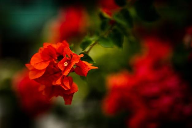 Foto de foco seletivo de um ramo de flores vermelhas
