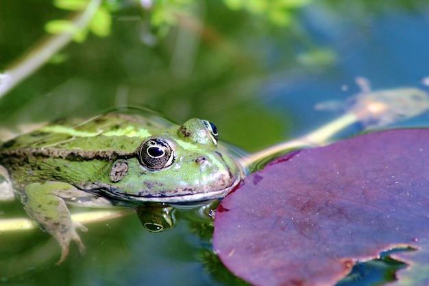 Foto de foco seletivo de um sapo ao lado de uma folha de lótus em um lago de um jardim