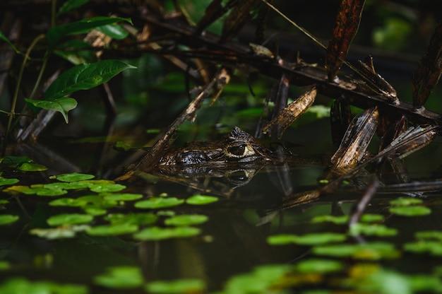 Foto de foco seletivo de um sapo enfiando a cabeça para fora da água