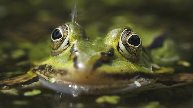Foto de foco seletivo de um sapo verde