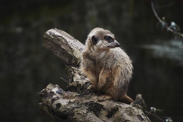 Foto de foco seletivo de um suricato em um galho de árvore seco
