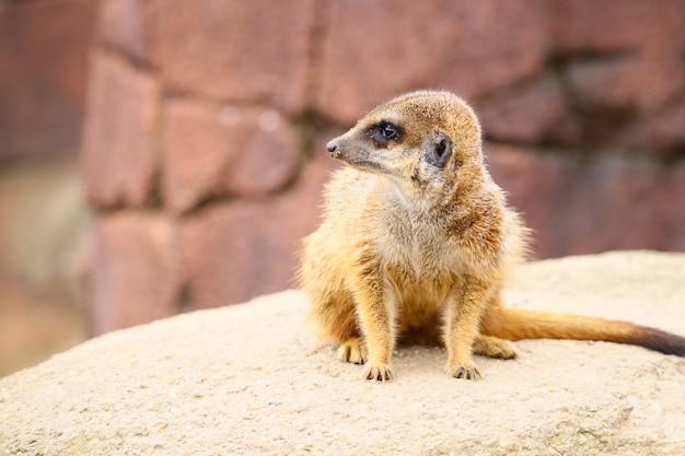 Foto de foco seletivo de um suricato em uma rocha