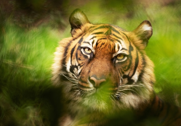 Foto de foco seletivo de um tigre olhando para a câmera