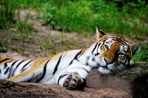 Foto de foco seletivo de um tigre pousando a cabeça em uma rocha
