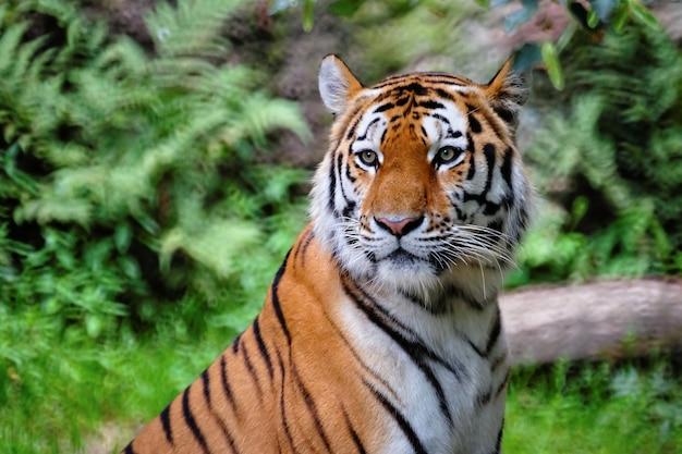 Foto de foco seletivo de um tigre
