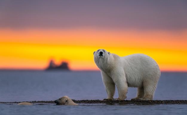 Foto de foco seletivo de um urso polar ao pôr do sol