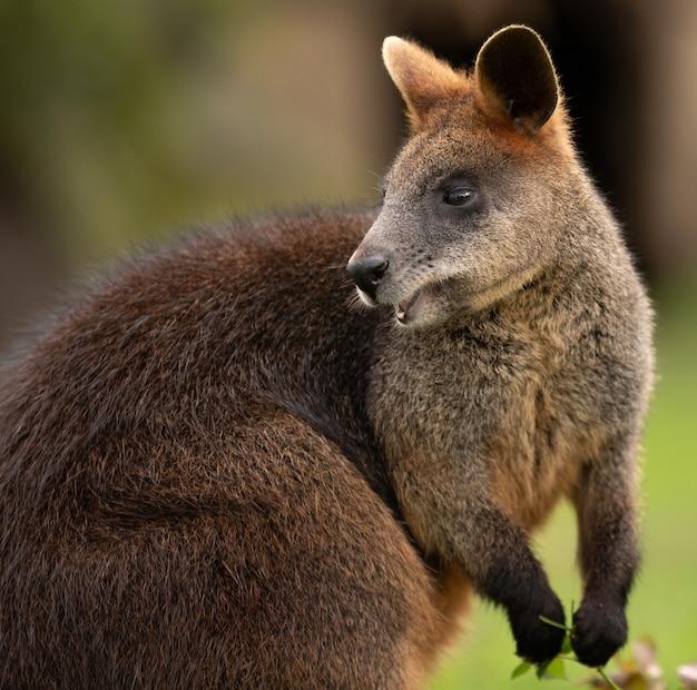 Foto de foco seletivo de um wallaby