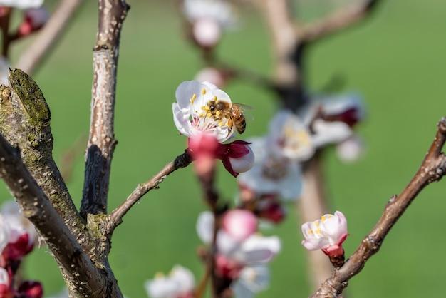 Foto de foco seletivo de uma abelha colhendo néctar de uma flor de damasco em uma árvore