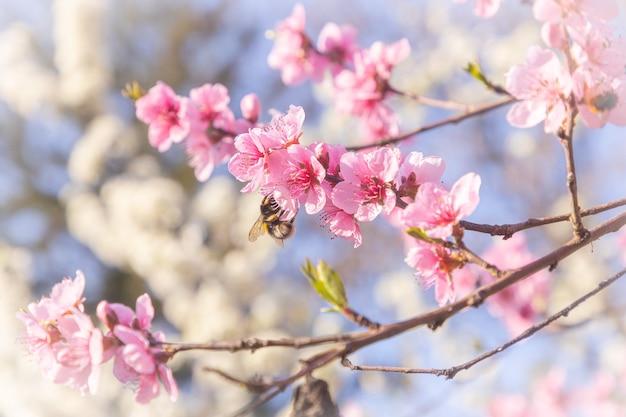 Foto de foco seletivo de uma abelha em flores de cerejeira rosa