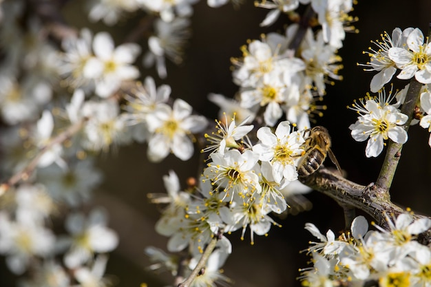 Foto de foco seletivo de uma abelha em flores de cerejeira