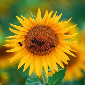 Foto de foco seletivo de uma abelha em um girassol florescendo em um campo