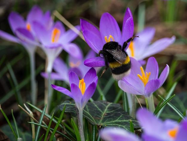 Foto de foco seletivo de uma abelha no açafrão roxo