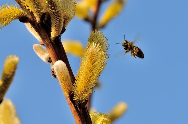 Foto de foco seletivo de uma abelha se aproximando do pólen de um amentilho de salgueiro