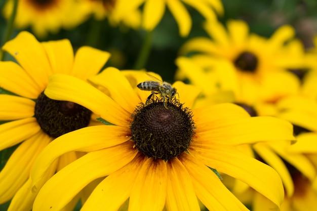 Foto de foco seletivo de uma abelha sentada em um girassol