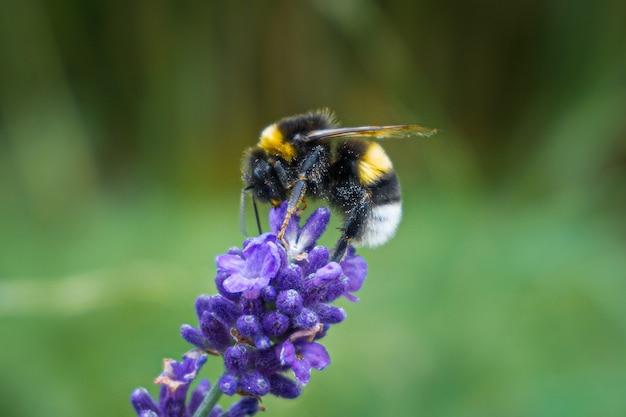 Foto de foco seletivo de uma abelha sentada em uma lavanda