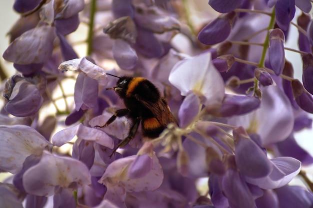 Foto de foco seletivo de uma abelha sentada nas flores de glicínias