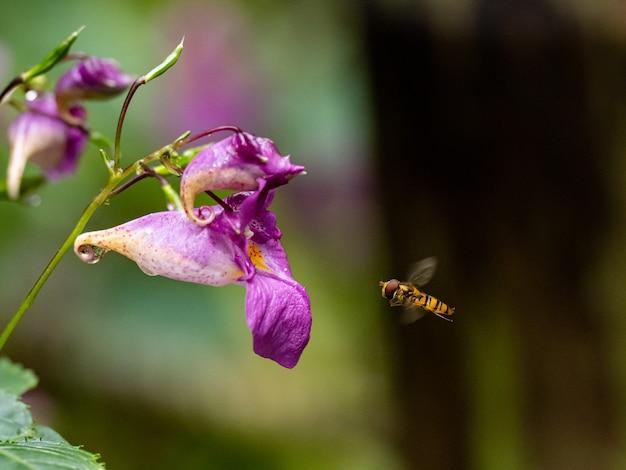 Foto de foco seletivo de uma abelha voando perto de uma flor roxa