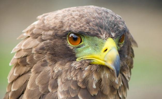 Foto de foco seletivo de uma águia magnífica com olhos de caça